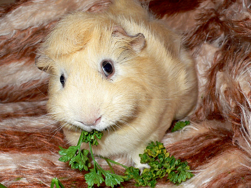Guinea pig eating parsley