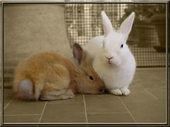 Two of Us... (Firenzesca) Tags: rabbit bunny love nature animal couple romantic impressedbeauty eperke theperfectphotographer