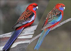 How camera flash affects the colour of birds... (aaardvaark) Tags: color colour parrot australia flashphotography canberra rosella act naturephotography cameraflash crimsonrosella platycercuselegans callumbrae 20070909021401~crro20070819019401 ix73 plumagecolour plumagecolor