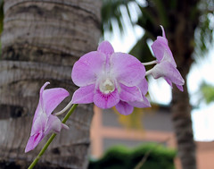 Vappodes phalaenopsis (tentative), Cooktown orchid, Boca Chica, Dominican Republic (shyzaboy) Tags: pink plant orchid flower purple blossom dominicanrepublic bloom santodomingo dendrobiumbigibbum bocachica repblicadominicana santodomingodeguzmn dendrobiumphalaenopsis cooktownorchid vappodesphalaenopsis callistaphalaenopsis