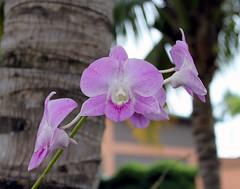 Vappodes phalaenopsis (tentative), Cooktown orchid, Boca Chica, Dominican Republic (shyzaboy) Tags: pink plant orchid flower purple blossom dominicanrepublic bloom santodomingo dendrobiumbigibbum bocachica repúblicadominicana santodomingodeguzmán dendrobiumphalaenopsis cooktownorchid vappodesphalaenopsis callistaphalaenopsis