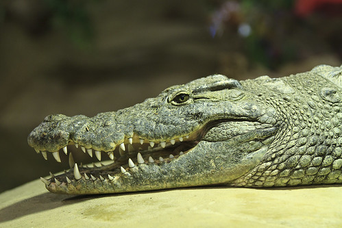 Reptilia - Nile Crocodile