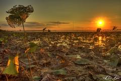 Sam Rayburn Lotus (Chris R. Little) Tags: sunset lake plant water landscape flora texas sam lotus native hdr rayburn