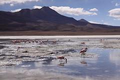 laguna hedionda (rongpuk) Tags: flamingo bolivia laguna ande hedionda mywinners flickraward
