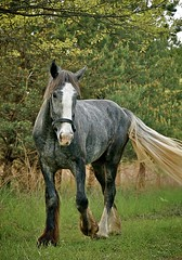 Spartacus (DRJoshG) Tags: horse shire equine draft drafthorse iphotooriginal