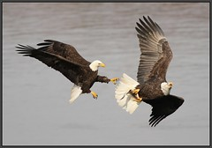 Bald Eagle Chase, and Battle for the Shad. (Eric C. Reuter) Tags: nature birds wildlife birding baldeagle maryland novermber 2010 susquehana conowingo susquehanariver conowingodam