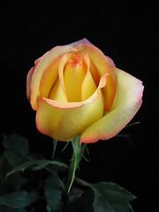 A touch of pink (annkelliott) Tags: canada flower calgary nature rose garden flora explore alberta naturesfinest interestingness245 anawesomeshot impressedbeauty explore2007june17