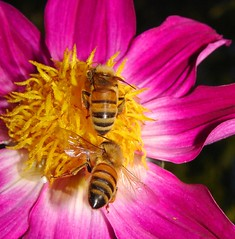 Move over (aussiegall) Tags: dahlia summer flower bug fly wings bees aclass specnature aquality iwishitwaswarmer