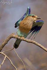 Indian roller (dickysingh) Tags: wild india bird nature outdoor wildlife aditya ranthambore singh ranthambhore dicky tigerreserve indianroller ranthambhorebagh bfgreatesthits adityasingh dickysingh ranthamborebagh theranthambhorebagh