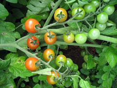 marcellino_tomatoes_7_2007_b