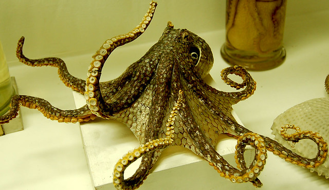 Octopus, Dry Specimen