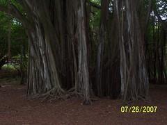 Banyan Tree (jonesrep) Tags: lost turtlebay banyantree