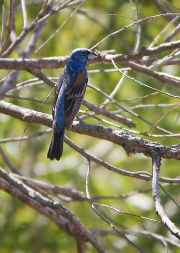 Blue Grosbeak