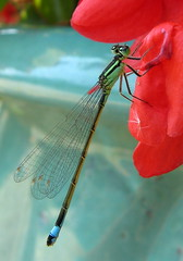 friendly dragonfly (Pierre Metivier) Tags: france macro europe dragonfly 82 libellule castelsarrasin tarnetgaronne