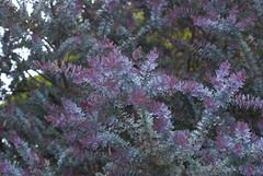 Acacia baileyana 'Purpurea' (Eric Hunt.) Tags: sanfrancisco california tree unknown fabaceae streettree acaciabaileyana acaciabaileyanapurpurea