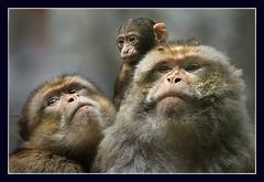 Precious... (hvhe1) Tags: family nature animal monkey bravo wildlife together naturesfinest littlestories specanimal animalkingdomelite hvhe1 hennievanheerden anawesomeshot picswithsoul