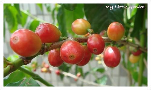 我家空中花園咖啡樹
