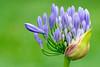 Agapanthus (HelenPalsson) Tags: flower green purple agapanthus