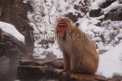 30090562 (wolfgangkaehler) Tags: winter japan asian mammal japanese monkey asia wildlife nagano jigokudani snowmonkey japanesemacaque jigokudanijapan