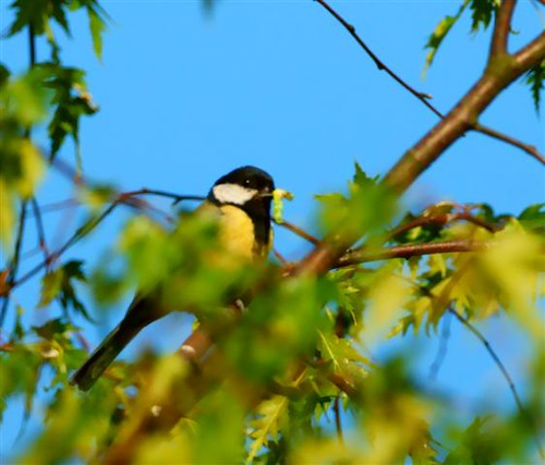 My Great Tit3 (Small)