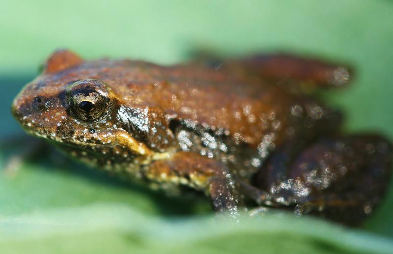 Frog Bokkeh
