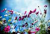 above the sky (moaan) Tags: life leica blue autumn sky flower digital 50mm flora october dof bokeh fine bluesky f10 utata bloom flowering noctilux cosmos 2010 blooming m9 cosmosbipinnatus inlife leicanoctilux50mmf10 leicam9 gettyimagesjapanq1 gettyimagesjapanq2