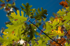 Oak leaves Photo