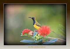 Olive-backed sunbird (Ericbronson's Photography) Tags: park flower bird nature canon interesting singapore wildlife sunbird olivebacked specanimal 40d ericbronson birdstnc09 mygearandmepremium