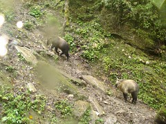 Takin (eMammal) Tags: takin wolong budorcastaxicolor geo:lon=30873 taxonomy:common=takin sequence:index=1 sequence:length=1 otherhoovedmammals taxonomy:group=otherhoovedmammals siwild:study=wolongcameratrapsurvey siwild:studyId=wolongbaitedsets geo:locality=china siwild:plot=wolong siwild:location=lwwl08811a siwild:camDeploy=chinadeploy194 geo:lat=103173 siwild:date=200809271429000 siwild:trigger=wwl08811a01115 siwild:imageid=wwl08811a01115 sequence:id=wwl08811a01115 file:name=wwl08811a01115jpg taxonomy:species=budorcastaxicolor sequence:key=1 file:path=dchinachinacameraimagedigitalafter2008wolongnaturereservewwl08811a01wwl08811a01115jpg siwild:region=china BR:batch=sla0620101119044543 siwild:species=12