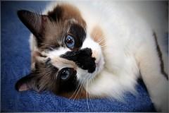 Morgan (anandajoy) Tags: blue cat pretty blueeyes kitty whiskers morgan puss ragdoll thewoodlands blueeyedcat bestofcats cwcc