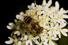 """Hoverfly (Eristalis arbustorum) • <a style=""""font-size:0.8em;"""" href=""""http://www.flickr.com/photos/57024565@N00/565470334/"""" target=""""_blank"""">View on Flickr</a>"""
