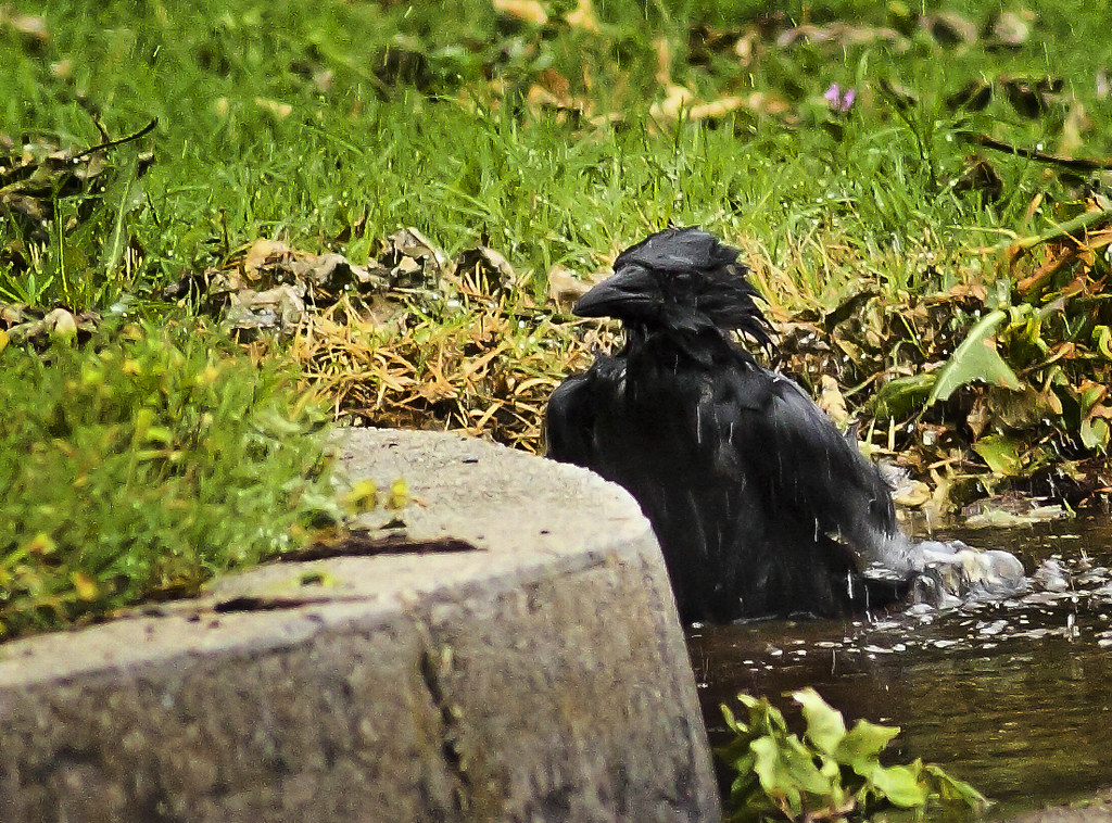 crow bathing in street gutter  cc welcome