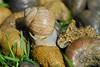 """RELATIVES"" (picaddict) Tags: ilovenature fossil snail grapevine weinbergschnecke grapevinesnail spectacularnature versteinerungen p1f1 anawesomeshot nikkor105vr amazingshots jalalspagesnaturealbum jalalspagesanimalkingdom"