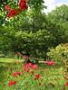 jardin du petit mayne fleur rouge