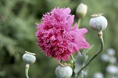 Peony Poppy - by WTL photos