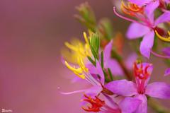Flor típica da... (Boarin) Tags: macro cores flor mywinners top20pink antureza
