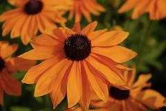 Brown Eyed Girl (cmu chem prof) Tags: flower blackeyedsusan midlandmichigandowgardensbotanicalgarden