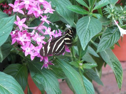 Olbrich butterflies 6
