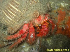 p71100242qf[1] (coismarbella) Tags: mergulho dive scuba diving buceo submarinismo tauchen plonge crustaceos cnidarios