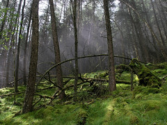 ben a'an trees in the mist (BlackDaffodil) Tags: mountains landscape scotland trossachs benaan