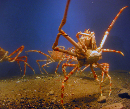 Kagoshima Giant Crab