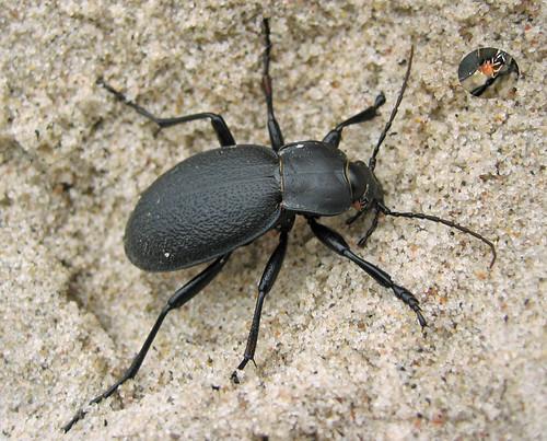Lederlaufkäfer /black beetle / Carabus coriaceus