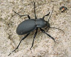 Lederlaufkfer /black beetle / Carabus coriaceus (seitlich) Tags: black beach strand sand idplease balticsea bugs ostsee schwarz kfer seitlich schmarotzer