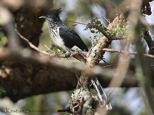 Levaillant's Cuckoo (Clamator levaillantii)