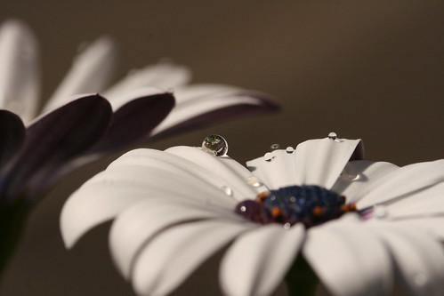Water Drop on Daisy