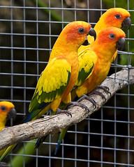 Hush That Bird Mouth! (Bill Adams) Tags: bird hawaii parrot explore bigisland canonef2470mmf28lusm kainaliu sunconure aratingasolstitialis piratetreasure1