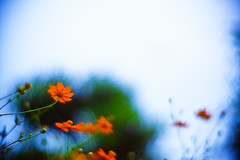 to the sky (moaan) Tags: life leica autumn sky flower up digital 50mm dof bokeh september m8 flowering roadside cosmos 2007 f095 wayside sulphureus orangecosmos uptothesky beginningofautumn explored canonf095 inlife leicam8 canon50mmf095 bokehwhores gettyimagesjapanq1 gettyimagesjapanq2