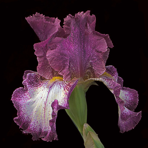 purple and white iris