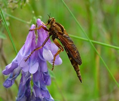 Robber Fly (Sentrawoods.) Tags: fly robber
