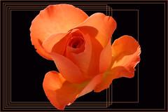 Rose (regina_austria) Tags: orange flower rose austria sterreich blume supershot interestingness45 10faves i500 masterphotos abigfave anawesomeshot colorphotoaward reginaaustria queenrose